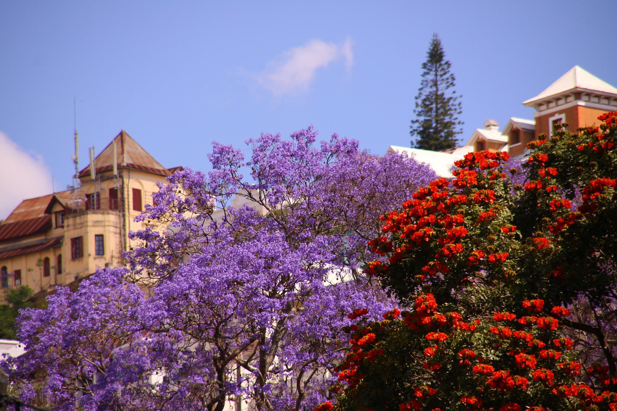 Beautiful_jacaranda_Antananarivo_Madagascar.jpg